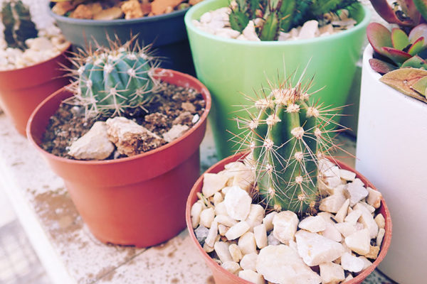 cactus-collection-outdoor-garden