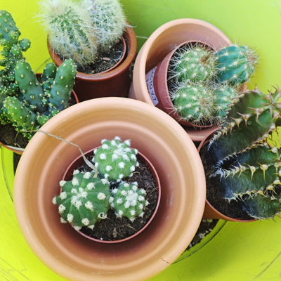getting-cacti-ready-to-be-potted