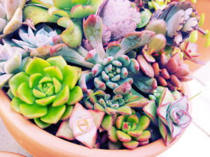 gorgeous-colourful-arragement-of-the-smallest-succulents-around