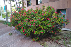 Succulents Flowering Red: Small Flowers to Ground Covers, Aloes, & More