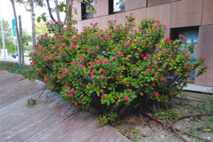 large-red-flowered-succulent-euphorbia-milii-crown-of-thorns-plant-bloom-outdoors