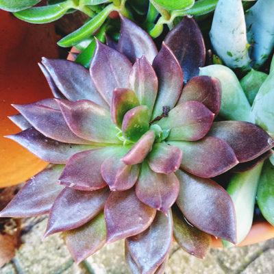 purple-succulent-echeveria-black-prince