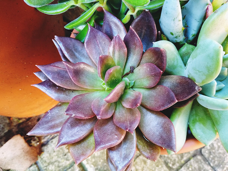 Purple Succulents: Vibrant Violets That Make Any Arrangement Pop