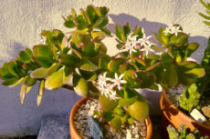Is Your Jade Plant Top Heavy? Here's What You Do