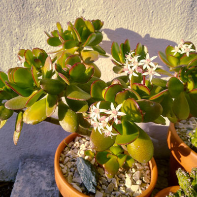 crassula-jade-plant-outdoors-potted-bonsaii-tree