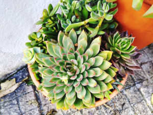 gorgeous-succulent-flower-pot-outdoor-arrangement-echeveria