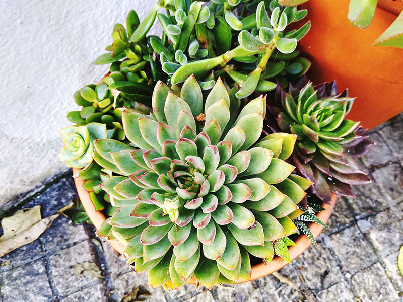 Succulents With Red Tips: Blazing Beauty Brought on by Stress