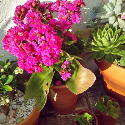 potted-kalanchoe-blossfeldiana-outdoors-with-other-succulents