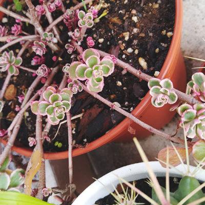 sedum-spurium-tricolor-pink-tip-succulent-plant