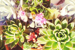 succulent-arrangement-beautiful-echeveria-sedum