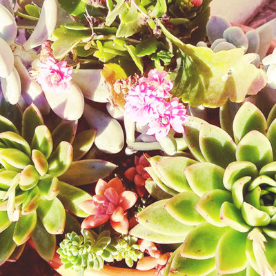 succulent-arrangement-beautiful-echeveria-sedum