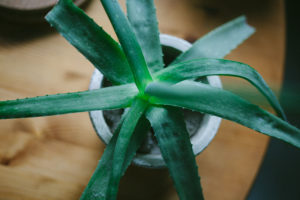 aloe-vera-house-plant-in-pot-on-table