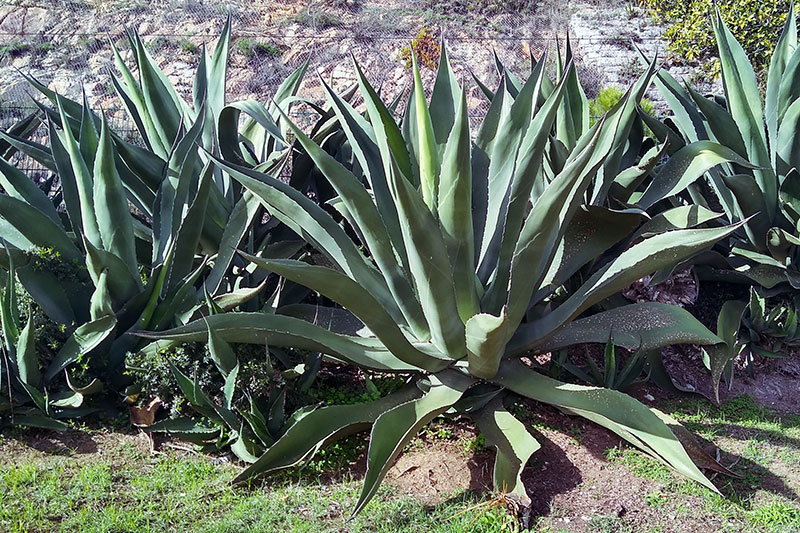 Is Agave a Cactus? No, but They Are Similar; Here's How