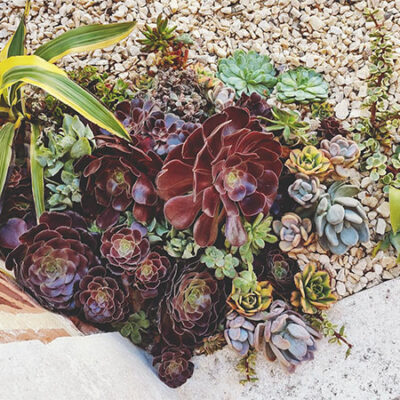 succulent-corner-arrangement-outdoors-aeoniums-crassula-echeveria